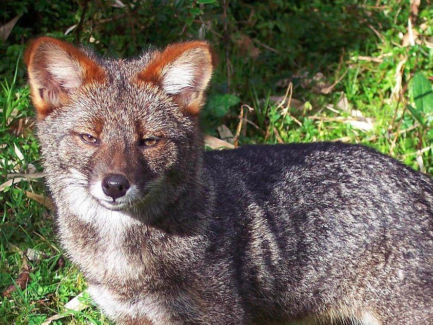 darwins-fox