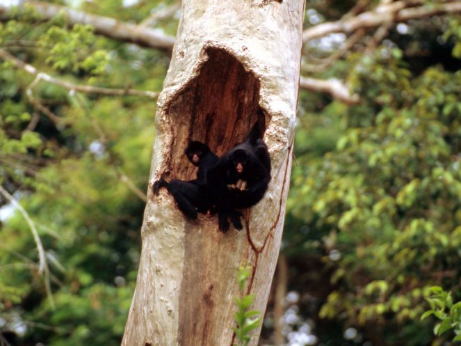 peruvian-black-spider-monkey