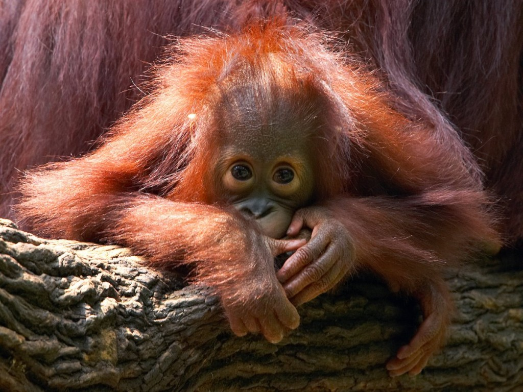 the-bornean-orangutan