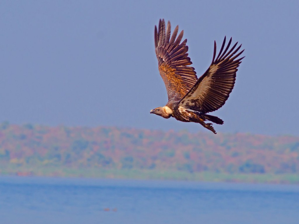 white-rumped-vulture